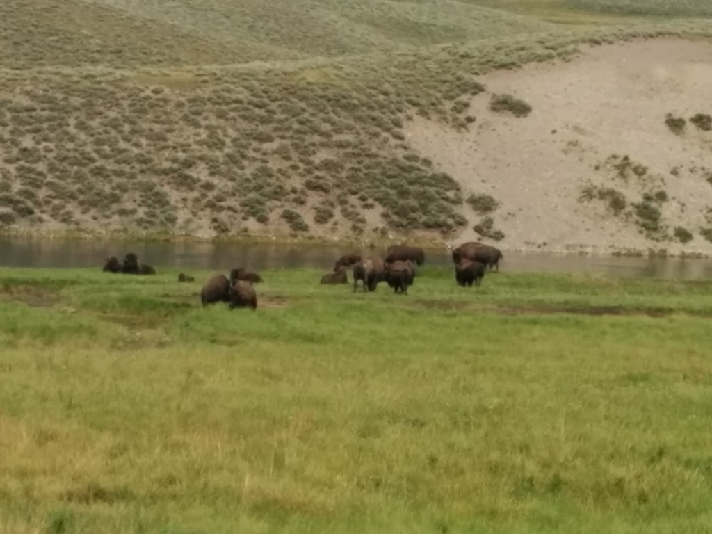 The buffalo feel free to roam pretty much anywhere in Yellowstone, including the roads.  This herd was content to stay in pasture, however.