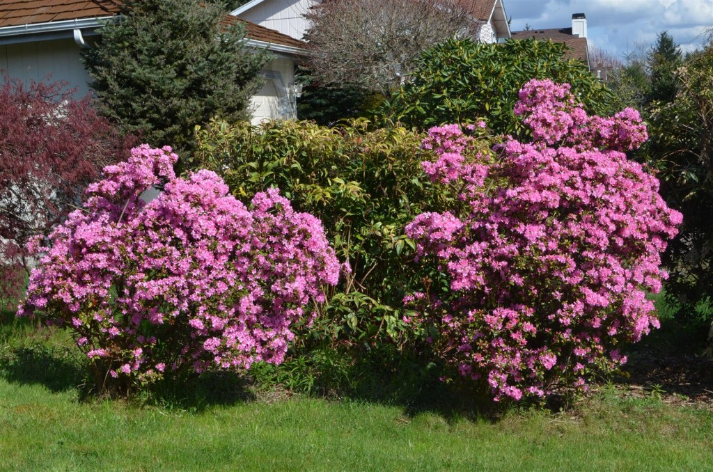Love the pink flowers starting to bloom in my yard.
