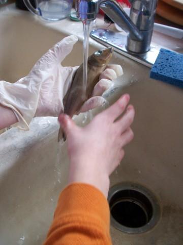 fish washing