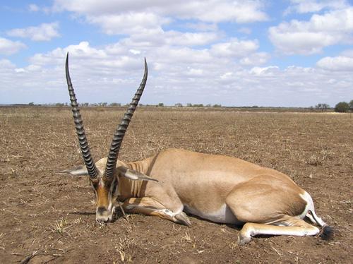 Fat Gazelle
